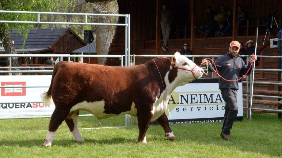 Los mejores ejemplares Hereford tendrán una jura especial este año. (Sociedad Rural del Neuquén)