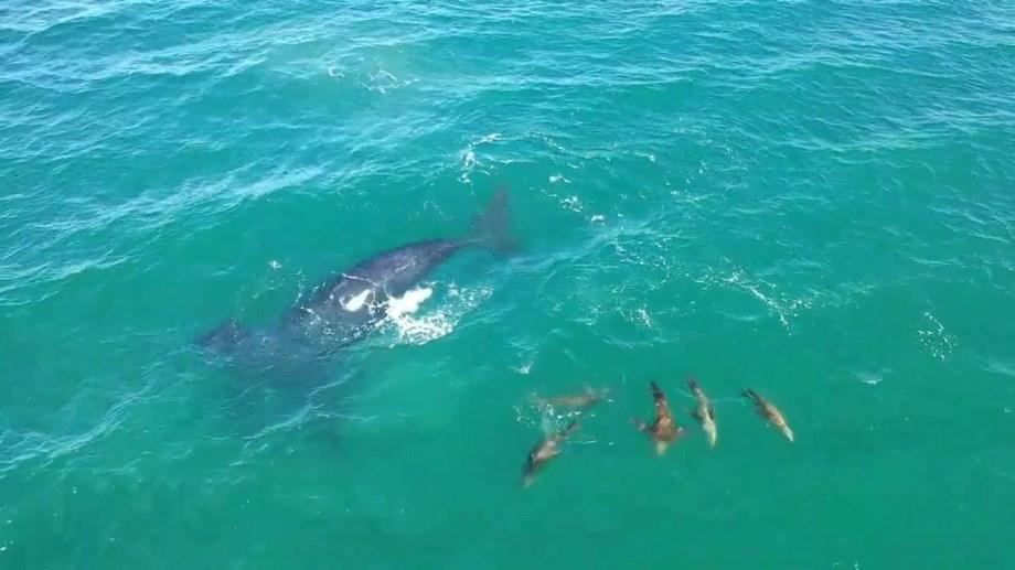 Una ballena y el grupo de lobos marinos que  compartieron un buen rato frente a Las Grutas. Captura de video / Seba Leal.