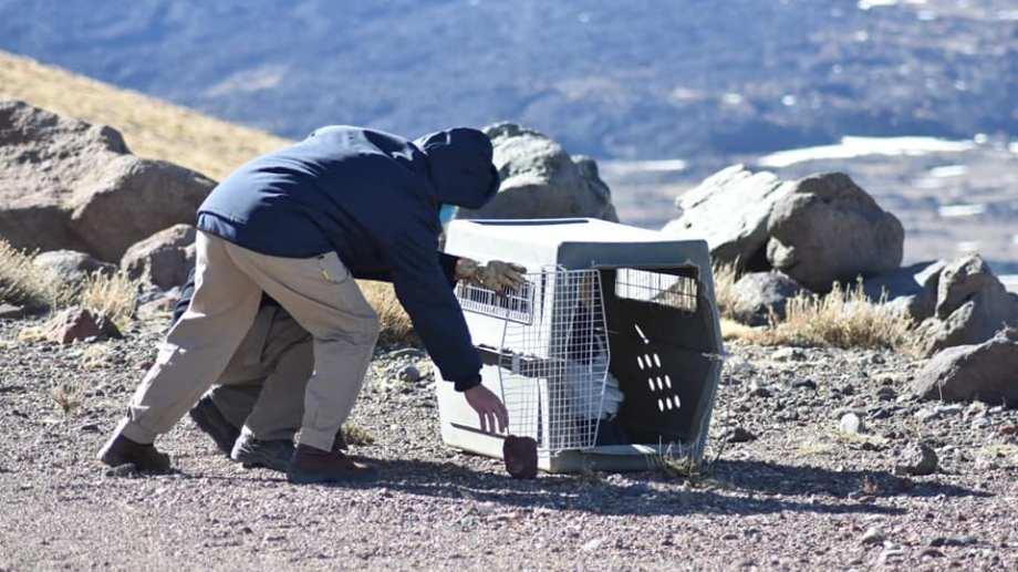 El ave fue liberada por guardaparques del área natural protegida Tromen (Radio Nacional Chos Malal)