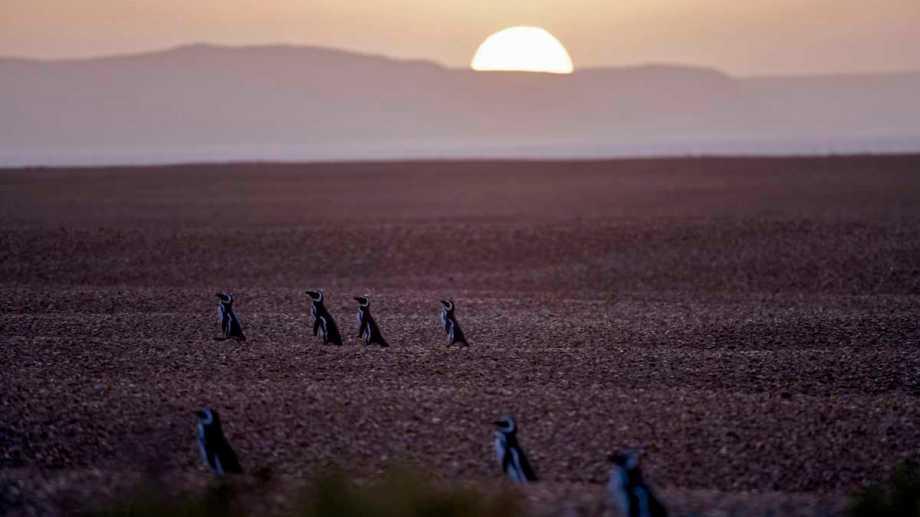 Punta Ninfas,  Chubut: Las colonias de pingüinos de Magallanes lucen repletas con miles de animales que ya llegaron a las costas de Chubut para reproducirse, este año sin turistas debido a la emerrgencia sanitaria de Covid-19..