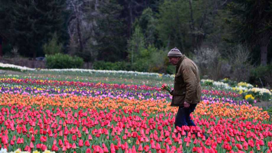 Pedro Smekal tiene su campo de tulipanes en la Península San Pedro de Bariloche. Foto: Alfredo Leiva