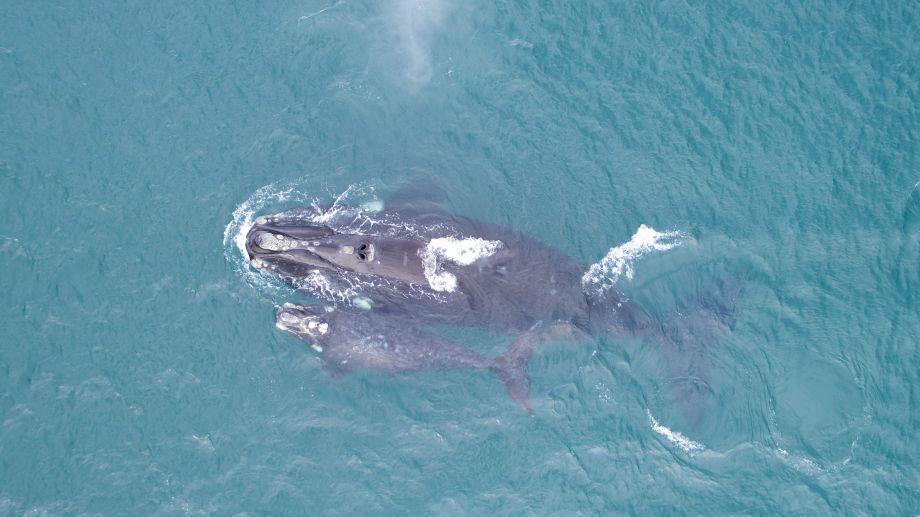 Al seguir por monitoreo satelital a la ballena Afuerita, se sabe que el animal con su hijo recorrió 18.356 kilómetros en 211 días por el Mar Argentino