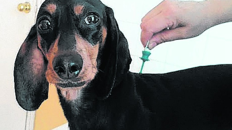 Las pipetas se colocan sobre la piel y no en el pelo, aclara la médica veterinaria Romina Ricci.