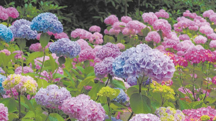 Los distintos colores de las hortensias permiten tener múltiples opciones para el jardín.