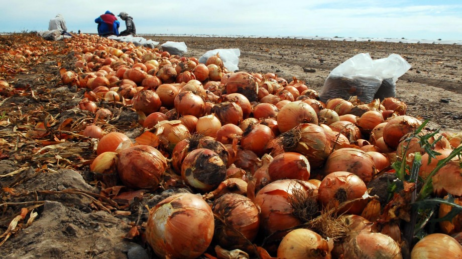 La cebolla se produce en el IDEVI. foto : Marcelo Ochoa