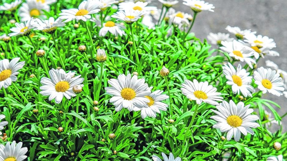 En macetas o en el jardín, estas flores son de una belleza inigualable