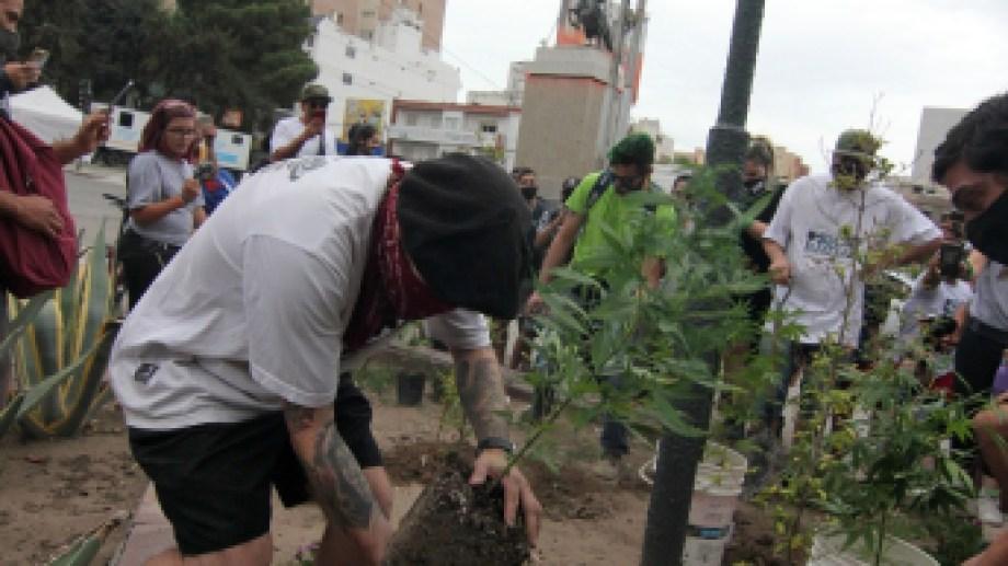 Tras la marcha nacional de la marihuana, en Neuquén, se plantaron cinco plantas en la diagonal 25 de Mayo. Foto: Oscar Livera.