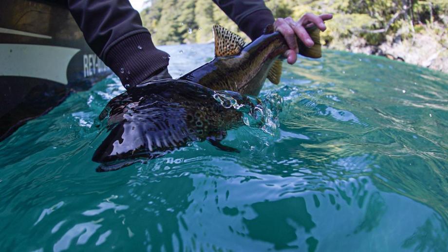 Devolución de una trucha marrón pescada en octubre en el lago Lolog, a 12 km de San Martín de los Andes. Foto: Fer Natalucci.