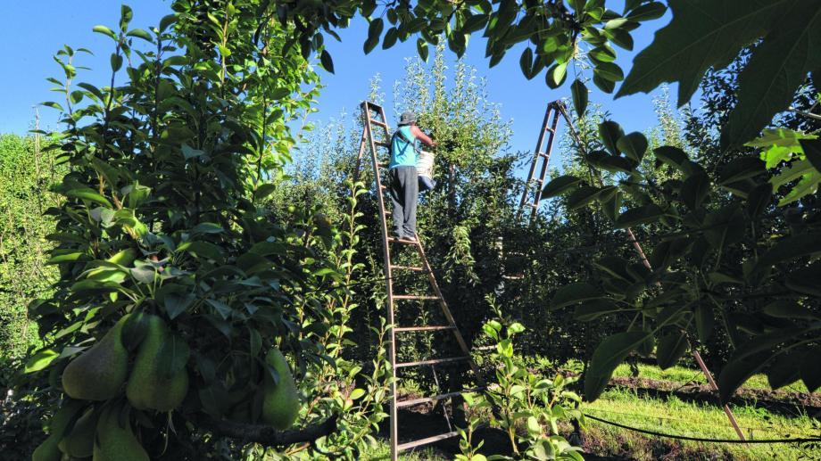 Los trabajadores golondrina realizan tareas de cosecha.  Foto: Archivo