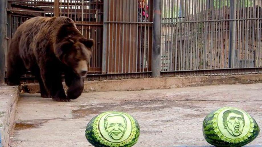 El oso Buyan fue uno de los que eligió a su candidato, tallado en una sandía.-