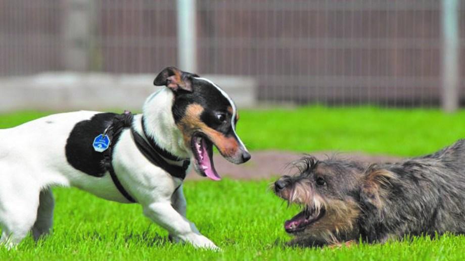 La seguridad de la persona que presente a los perros  es esencial para que la relaciòn entre ellos sea exitosa.
