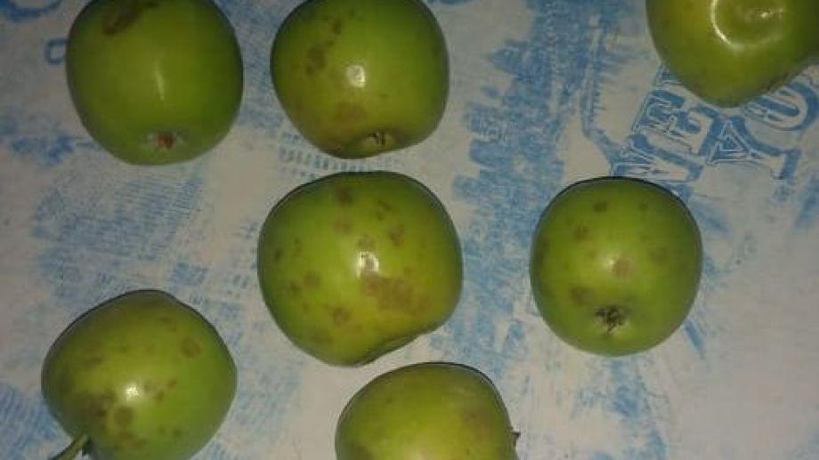 El granizo dañó la fruta en un sector de Roca.
