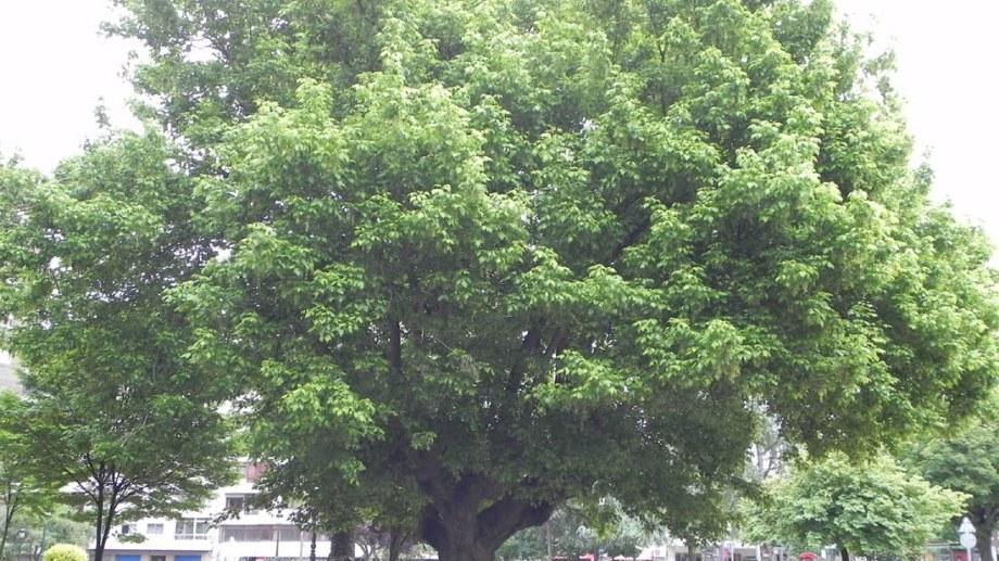 Aunque pueden diferir entre municipios, las características y normativas generales sobre la plantación de arboles en zonas urbanas son similares.