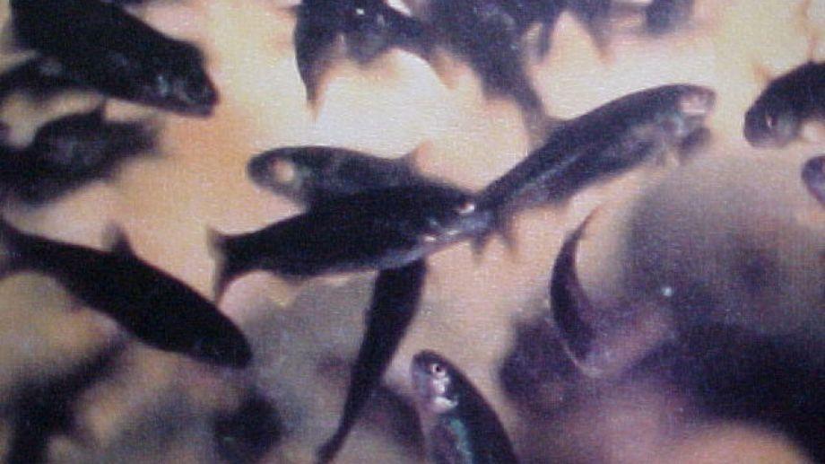 """Esta especie de mojarras se apoda """"desnuda"""" puesto que los primeros ejemplares estudiados no poseían escama."""