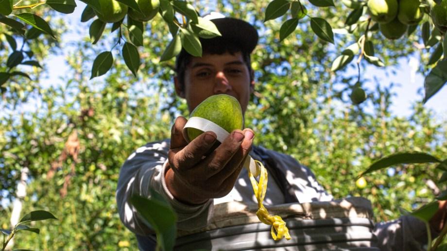 Ezequiel Farías, uno de los cosechadores de Roca ya puso manos a la obra. Esperan la llegada de obreros de otras provincias. Foto Juan Thomes.
