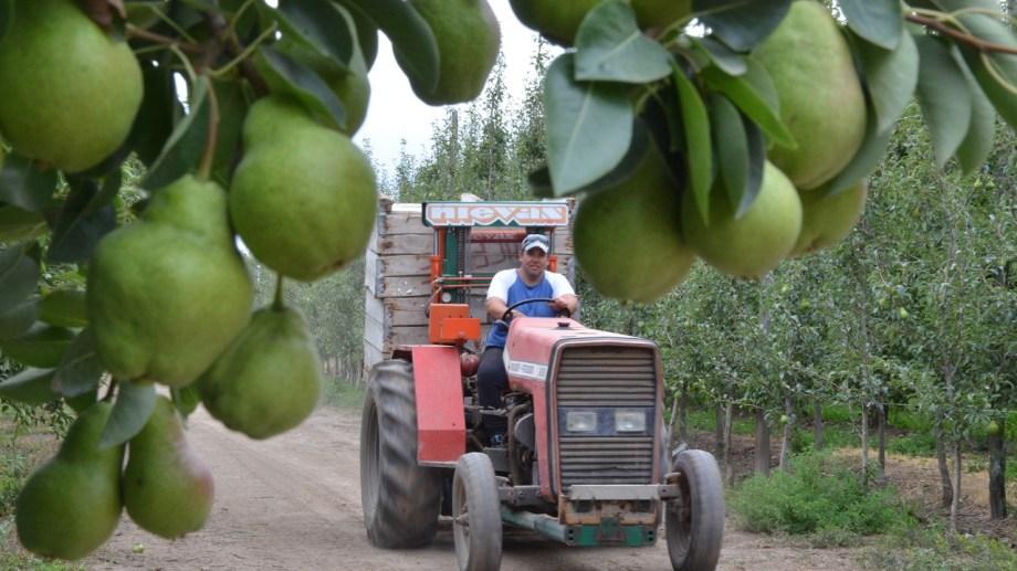 Desde el uno de enero, las exportaciones de peras y manzanas no tendrán retenciones. (Foto Néstor Salas)