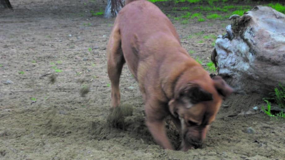 Enterrar piedras y escarbar es un posible síntoma de TOC en el perro.