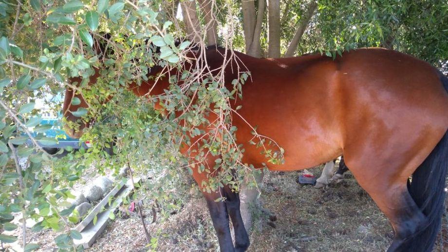 Uno de los caballos con los que los jóvenes quisieron huir tras robar en una despensa en Bariloche.  Foto: Gentileza