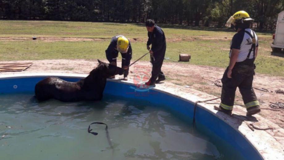 Personal de Bomberos trabajó más de dos horas para sacar el animal. Foto: gentileza Jefatura de Bomberos.-