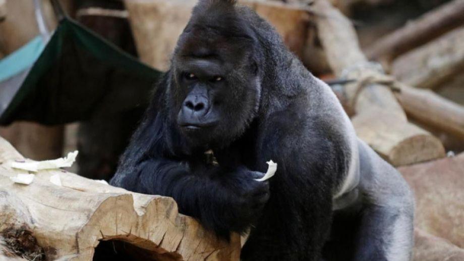 """El gorila Richard """"está cansado y perdió el apetito"""", dicen sus cuidadores.-"""