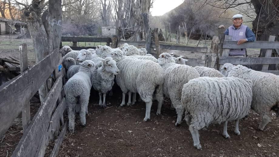 Más de 2.000 ovinos fueron vacunados en esta nueva campaña realizada por Salud. (foto: gentileza).
