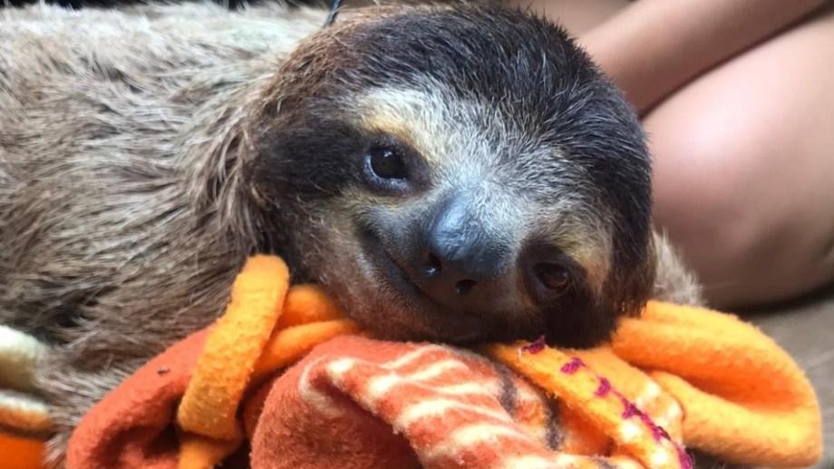 Los perezosos ostentan el título de ser los mamíferos más lentos del mundo. Fotos gentileza Cecilia Pamich.