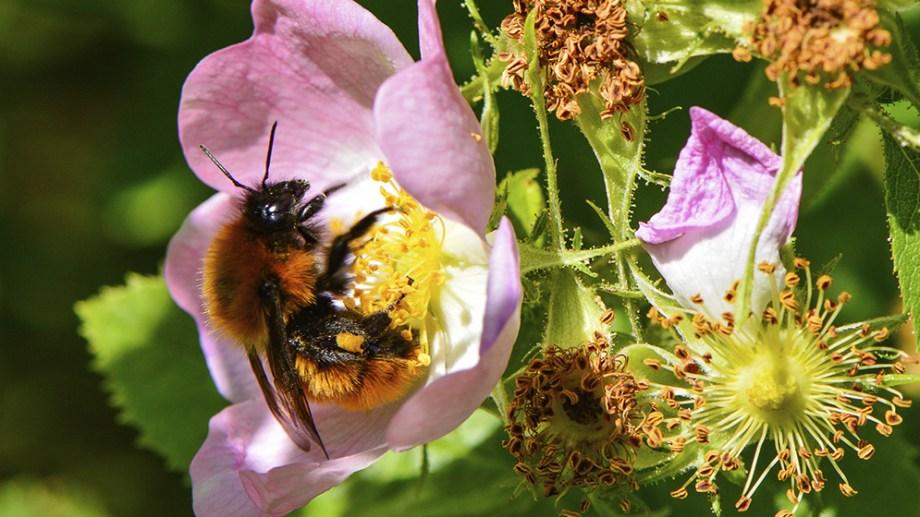 En el mundo, existen más de 20 mil especies de abejas silvestres que brindan servicios de polinización esenciales para la reproducción de cientos de miles de especies de plantas. También son fundamentales para la productividad de alrededor del 85 por ciento de los cultivos, como las manzanas y los arándanos.