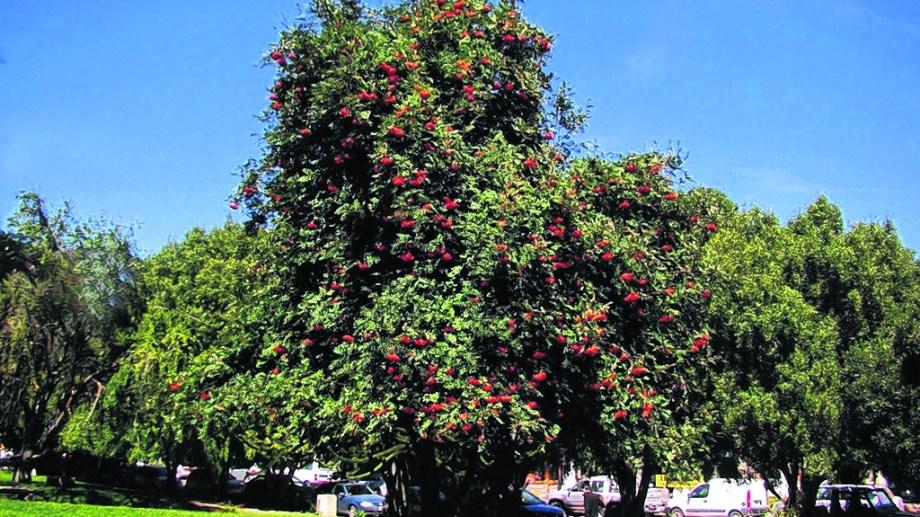 Imponente, al aire libre, con sus verde intenso y el rojo de las bayas desplegados.