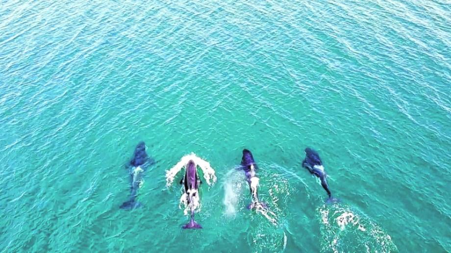 En el video que Nicolás Cetra grabó, se ven cuatro orcas que nadaban de manera sincronizada.