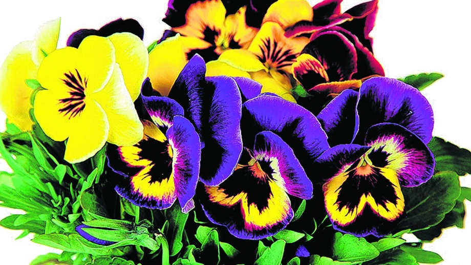 Un impresionante ramo que muestra los contrastes y variedades de esta bellísima flor.