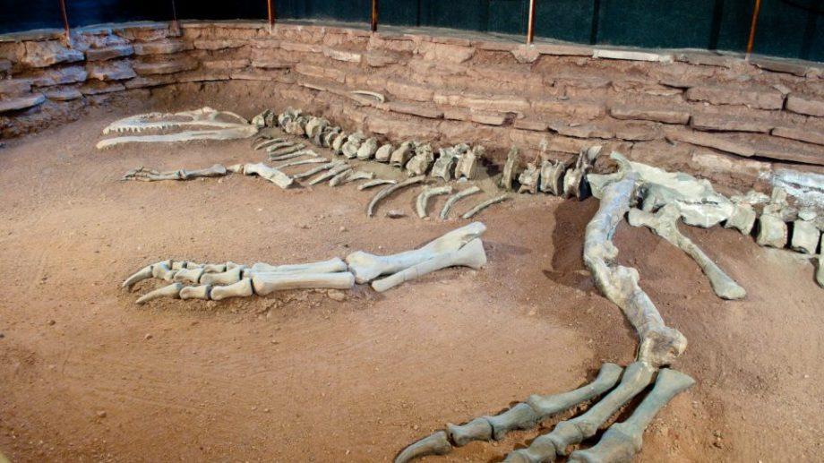 El Giganotosaurus carolinii, descubierto en 1993, destronó por su tamaño al  famoso  Tyrannosaurus rex,. Foto: Gentileza  neuquentur.gob.ar