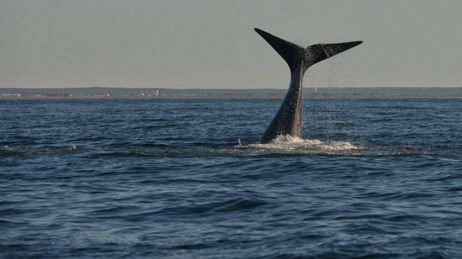 El show de las ballenas en el Golfo San Matías: se larga la temporada de avistaje. Foto: Martín Brunella.