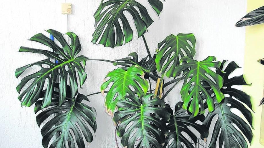 La monstera es una de las plantas más populares y pedidas en los viveros.