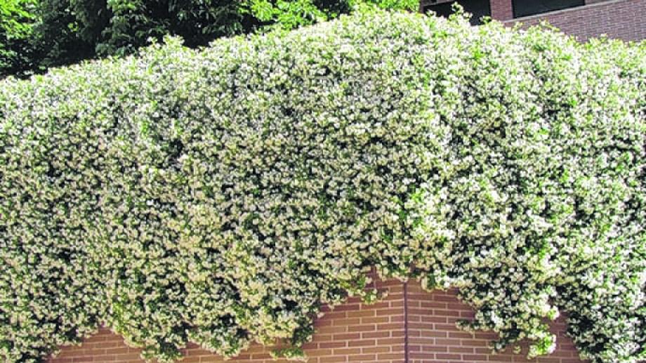 """La planta soporta temperaturas de 5° y el frío y la poda en invierno benefician la floración en primavera. """"Es una trepadora que necesita ser tutorada""""."""