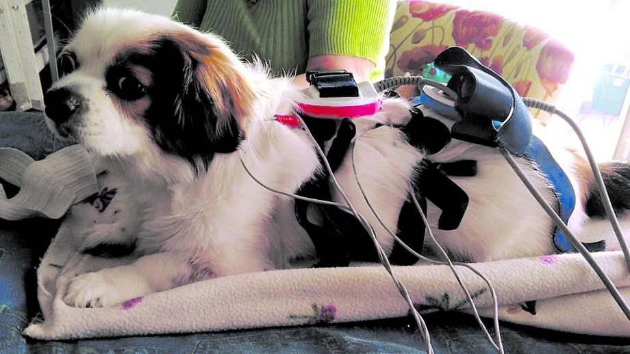 La magnetoterapia es una de las prácticas aplicadas en perros para rehabilitación.