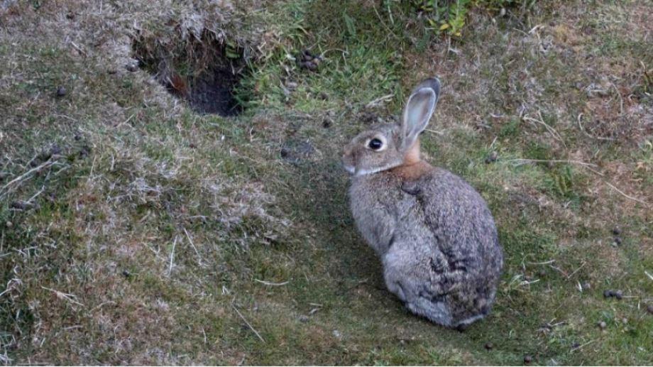 El conejo europeo fue traído a Tierra del Fuego y se esparció por la Patagonia. (Ministerio de Ambiente de la Nación).-