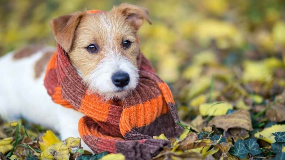¿Sos de abrigar a tu mascota? Algunas de ellas la pasan mejor con alguna capa o bufanda.-