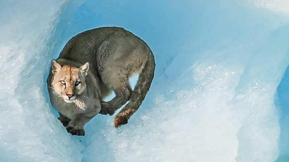 El puma fue visto ayer en un pequeño bloque de hielo en Lago Argentino, Santa Cruz. Foto:  Luis Alejandro Acharez