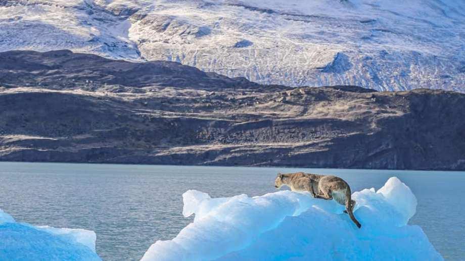 El puma había sido avistado el martes por turistas que recorrían Lago Argentino en un catamarán rumbo al glaciar Upsala en la Patagonia. Foto: Luis Alejandro Acharez
