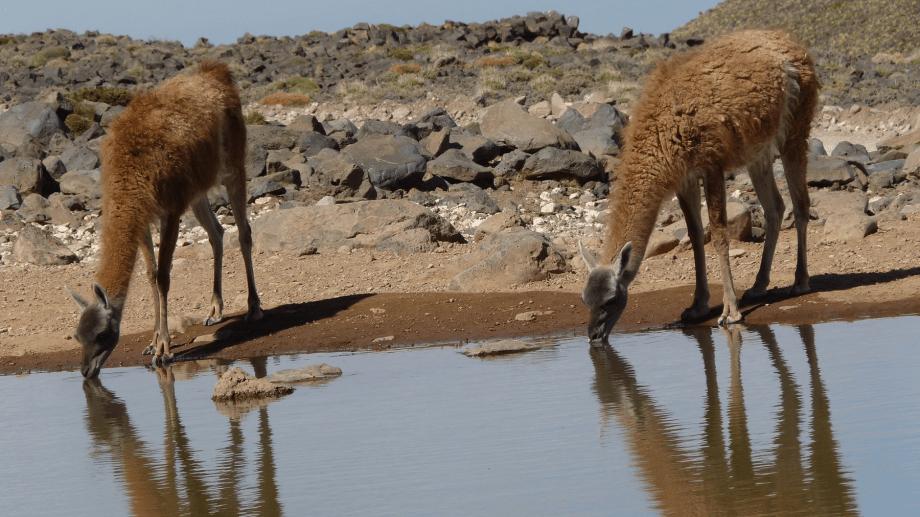 La caza furtiva provocó una disminución del 93% de guanacos en 20 años en Argentina, según la ONG WCS Argentina. Crédito: Lara Heidel - WCS Argentina.