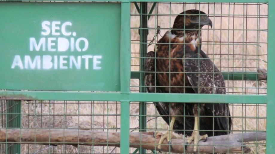 Un ejemplar de águila mora y un loro barranquero fueron liberados de su cautiverio en domicilios de Villa Regina. (Foto gentileza)