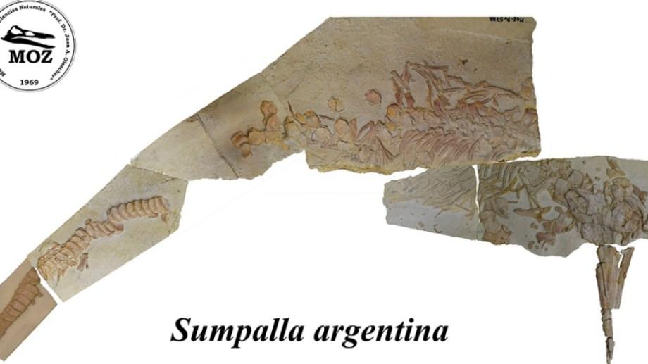 Sumpalla argentina fue hallado en Los Catutos, en la Formación Vaca Muerta. Foto: Gentileza