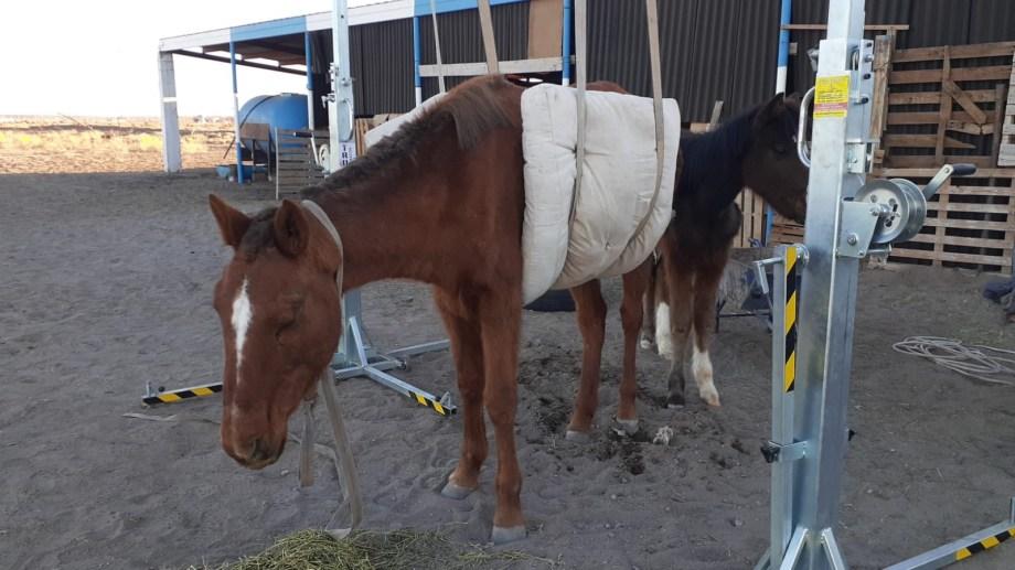 Al animal tenían que colgarlo de un arnés para que pueda mantenerse en pie. Foto: gentileza.