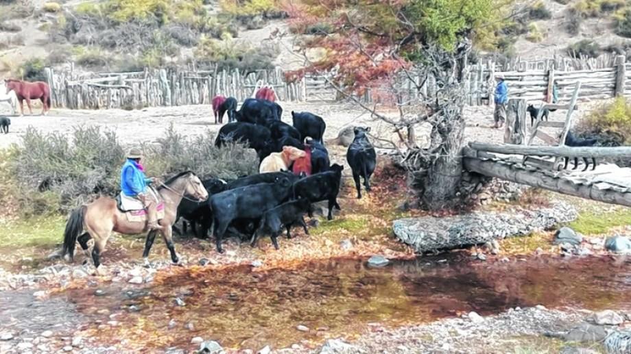 La mayor parte del stock ganadero en la provincia de Neuquén se encuentra entre pequeños y medianos productores.