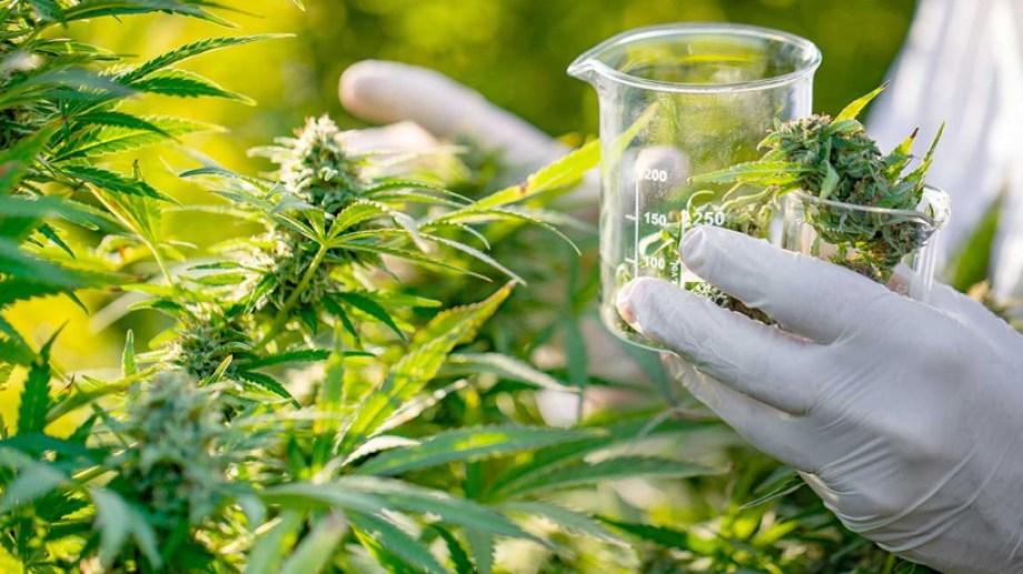 El proyecto de ley establece un marco regulatorio de la cadena de producción, industrialización y comercialización de la planta de cannabis.