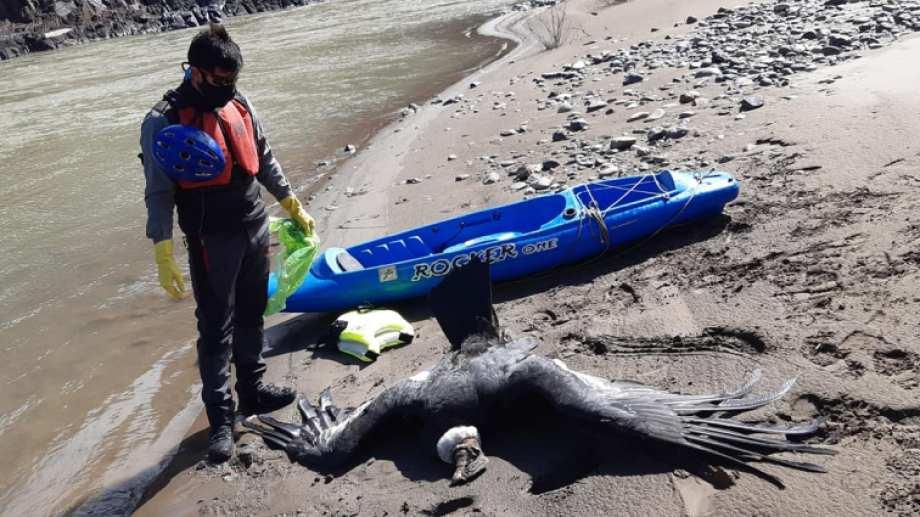 Pura tristeza. Martín Muñoz a orillas del río Neuquén junto a uno de los cóndores que murieron tras ingerir cebos tóxicos.