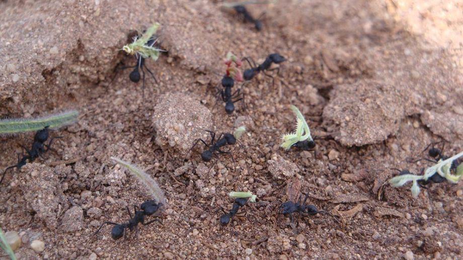 Hormigas cortadoras de hojas. Usan las hojas para cultivar un hongo que les sirve para alimentar a las larvas