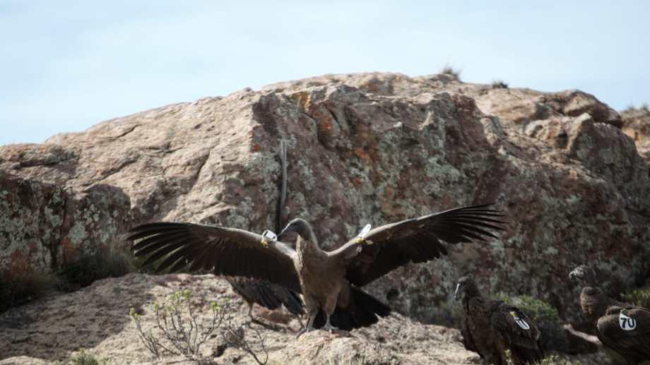A volar. Uno de los 7 ejemplares que se liberaron en Sierras Paileman, Río Negro.