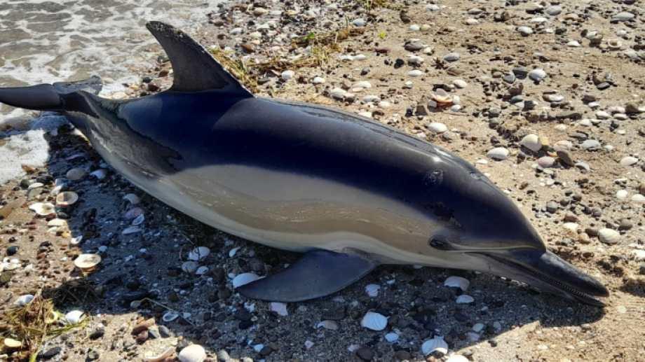 La aparición de los delfines muertos en la costa generó gran conmoción. Fotos: Lorena Venglisky
