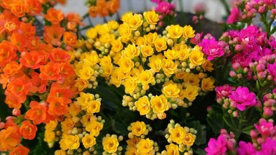 Flores de colores variados, hojas de verde intenso y carnosas, caracterizan al kalanchoe.